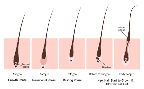 ciclo de vida del cabello