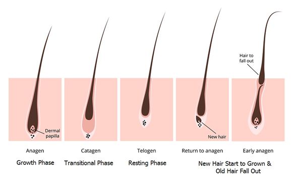 hair life cycle